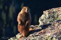Curious Marmot
