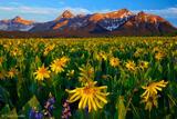 Sneffels Range Flowerfields print