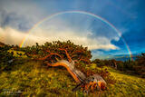Bristlecone Rainbow