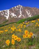 Alpine Sunflowers Below Torreys Peak