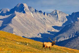 Bull Elk and Longs Peak