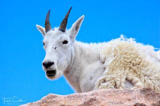 Mountain goat, Mount Evans, Colorado