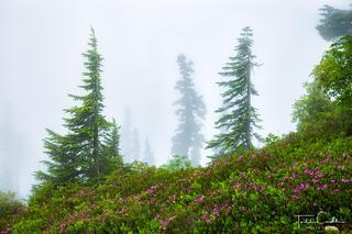 Mountain Heather in Fog