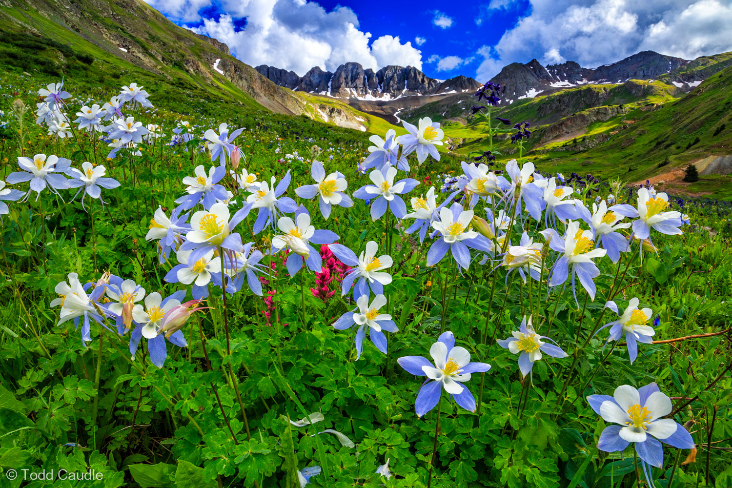 Colorado blue columbines, the state flower, proliferate in American Basin. The basin is accessible from the Cinnamon Pass four...