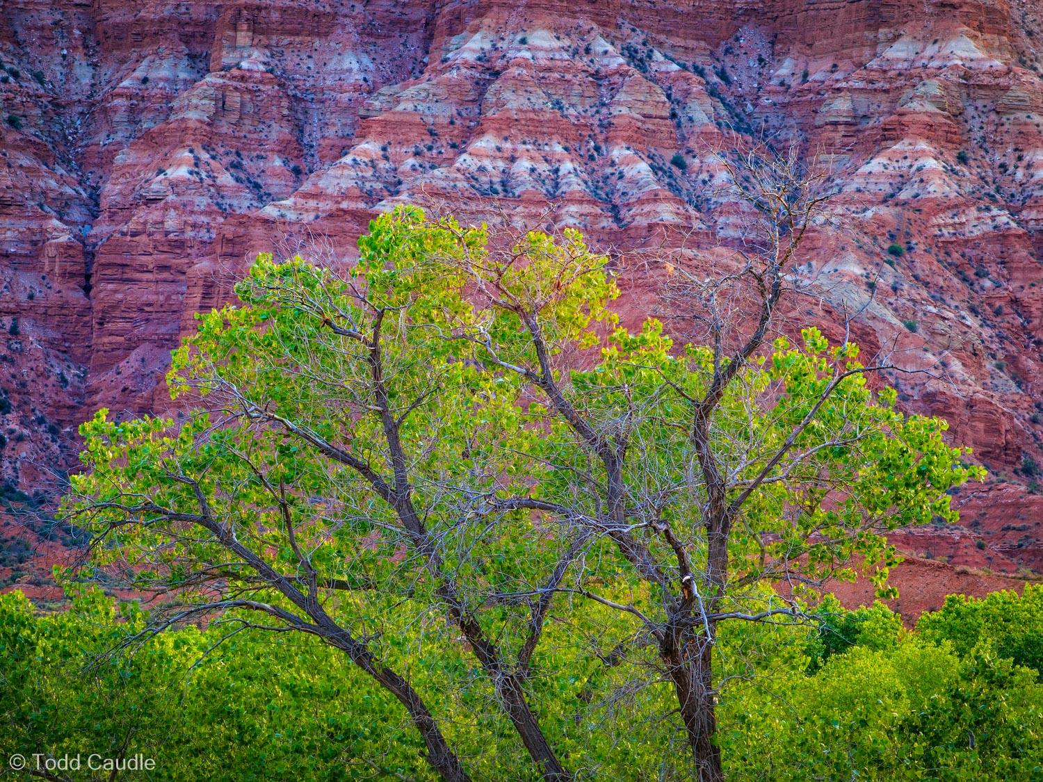 Fresh spring leaves are practically luminescent on cottonwood trees along the Virgin River, while the fascinating striations...