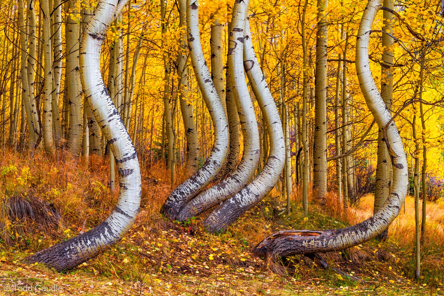 Improbably twisted aspen trees practically defy imagination in the San Juan Mountains near Telluride. It's a guessing game as...