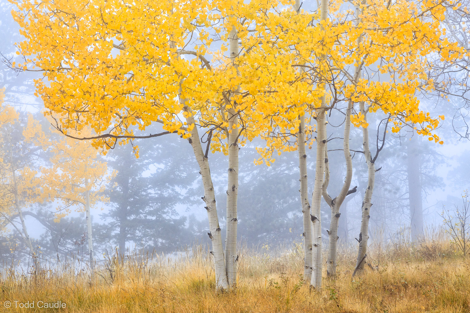 Delicate aspen trees brace for the changing of seasons on Rampart Range, near the town of Woodland Park.
