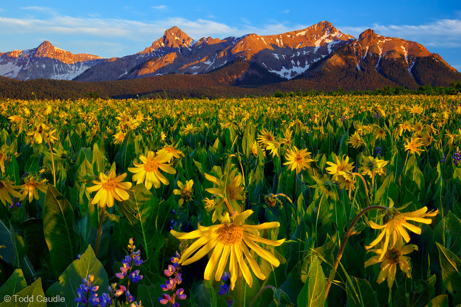 Mules ears wildflowers grow in profusion below the Sneffels Range in early-summer. In this scene, the setting sun paints the...