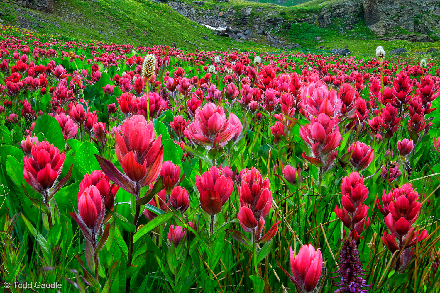 A ground-level view of crimson Indian paintbrush near Clear Lake.